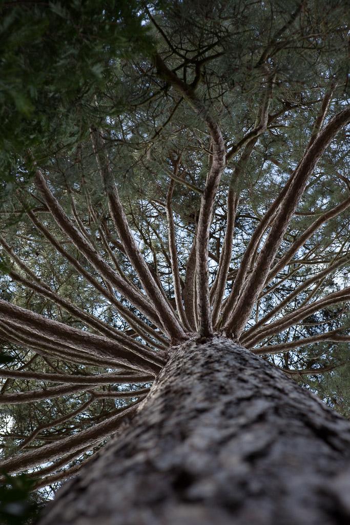 Black Pine tree, Trinity College Gardens, Cambridge