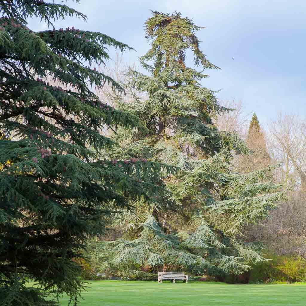 The Black Pine at Trinity College, Cambridge